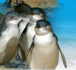 Phillip Island Penguin Parade - Accommodation Australia