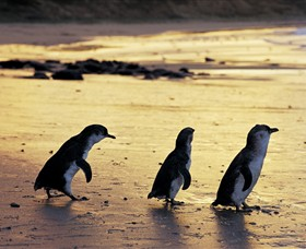 Phillip Island Nature Park - Accommodation Australia