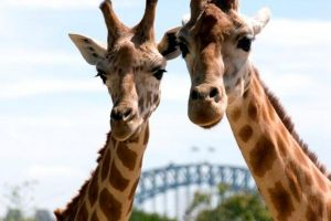 Sydney Harbour Ferry with Taronga Zoo Entry Ticket - Accommodation Australia