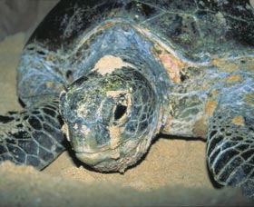 Turtle Nesting Season - Accommodation Australia