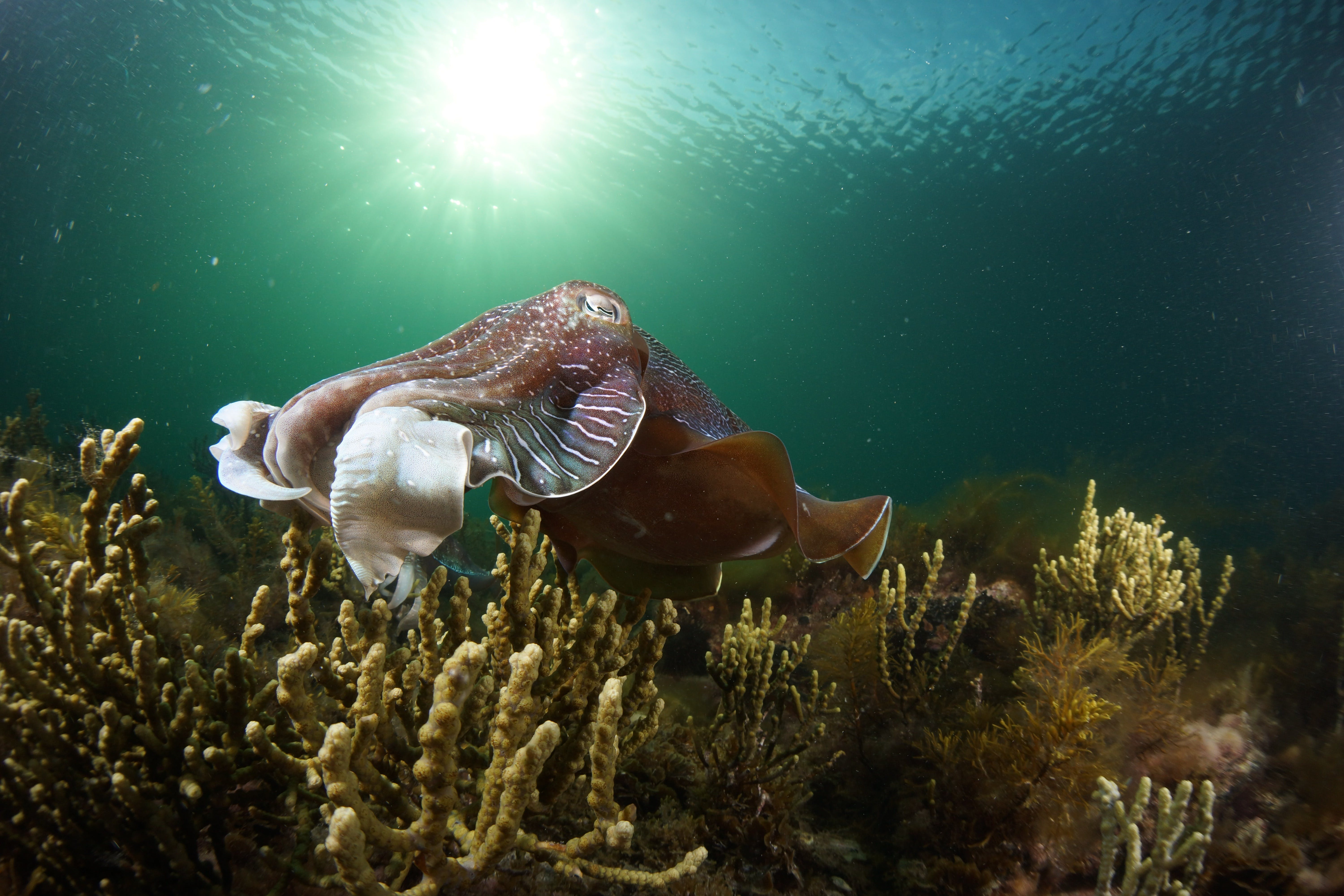 Cuttlefish Diving  Snorkeling EVERYDAY May -August - Accommodation Australia