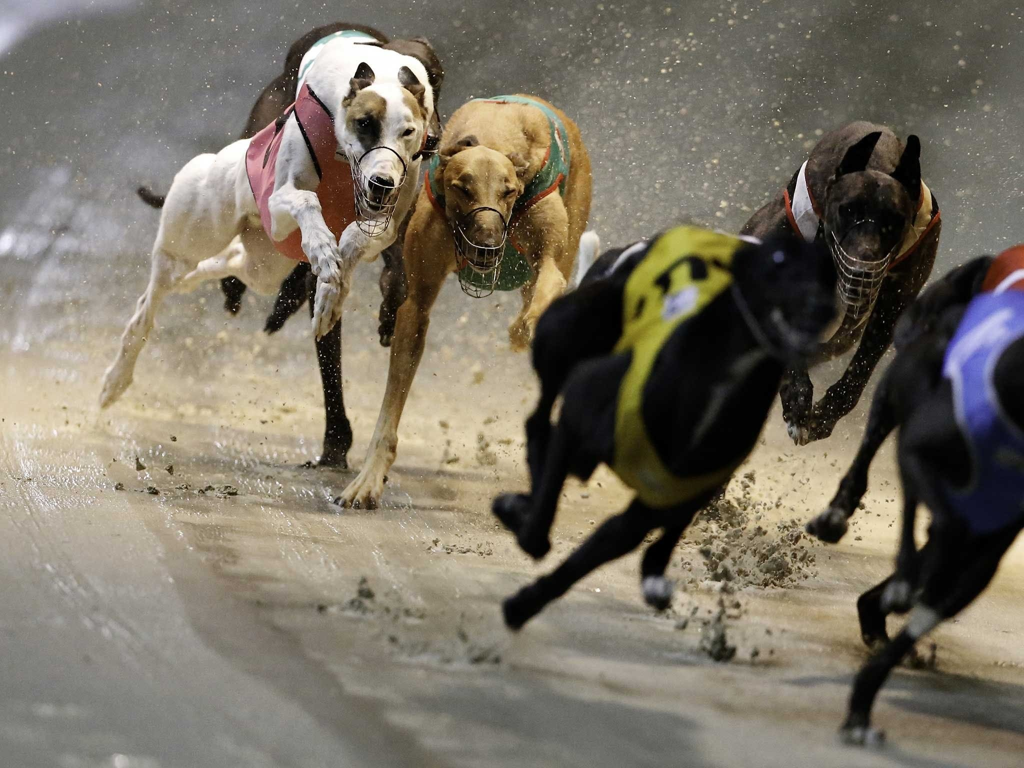 Twilight Greyhound Racing - Accommodation Australia